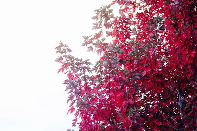 I like the contrast of the red leaves with the washed out sky.  It might be more effective to include less of the tree to imply more of the mystical white unknown...