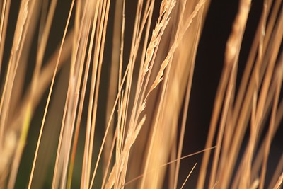 """Some really neat elements in this photograph.  I like the contrasting light and color and the diagonal lines of the grass.  Don't be afraid to """"harvest"""" elements like the two small strands of grass that are out of line with the rest.  Also, it might be nice to shift the stalk with seed pods into the left third of the frame."""
