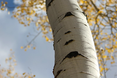 Another nice image.  My eye wants to see a bit more of the abstract leaves and sky to the left.  The aspen tree is such a simple and stark image that the confusing mass of yellow leaves and branches on the right bothers me a bit.