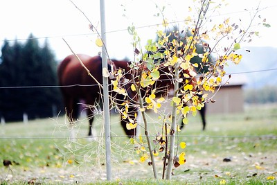 Good example of a narrow depth of field.  I would like to have the aspens in the right to show more of the horses un-obscured.