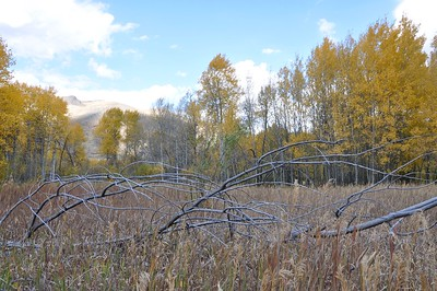 Good use of the rule of thirds.  I like the detail of the foreground branches, but wonder if they could somehow be better framed from an angle further back and higher that might keep them out of the aspens and isolated in the grass.  Just a thought.