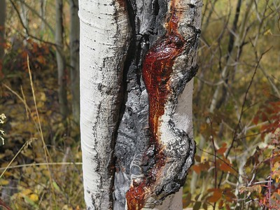 I like the color and detail in the aspen tree.  the red color is quite unique.  I would  shift the tree into the left third to bring in some of the red leaves in the background to balance the red in the aspen bark.