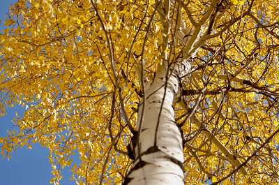Willa, my eye wants to see the edge of the leaves on left side of the photo so I would prefer the trunk to be placed further to the right so it might be balanced by more open blue sky and I can see the full extent of the yellow canopy.