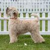Puppy Bitch<br /> 1st & BP - Calvenace Super Trouper