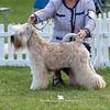 Junior Dog<br /> 1st & RDCC - Silkcroft Game Changer