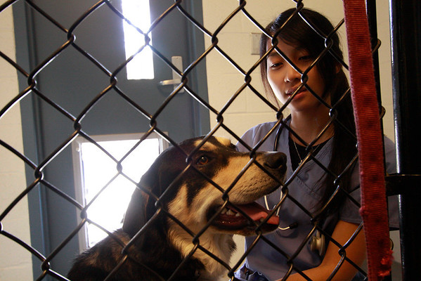 """1 year old Shepherd Doberman mix named """"Lucas"""" waits with Pierce College veterinarian student Junie Tseng for his operation at Pierce College Woodland Hills Calif. on Friday March 11, 2011. Photo: Jose Romero"""