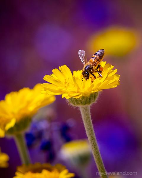 Bee and Desert Marigolds