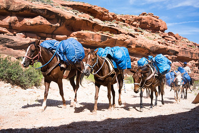 Pack Muels | Havasupai Indian Reservation