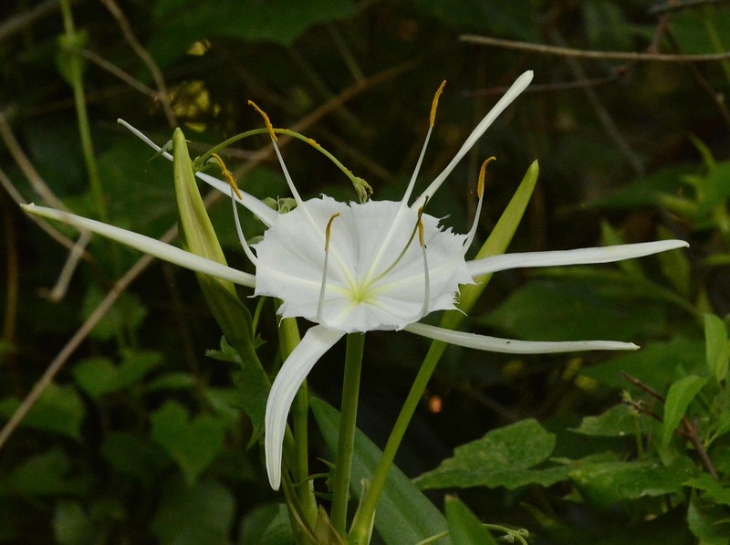 "Spider Lily -- Hymenocallis crassifolia<br /> <br /> ""In the relations of man with the animals, with the flowers, with the objects of creation, there is a great ethic, scarcely perceived as yet, which will at length break forth into light."" ~ Victor Hugo -- Aimer, c'est agir."