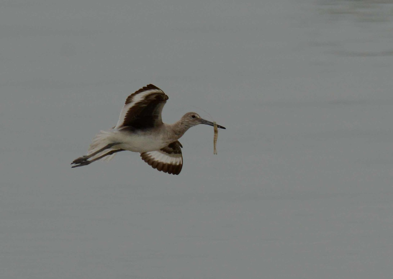 A Willet carries a shrimp to a more secluded spot in the lagoon.