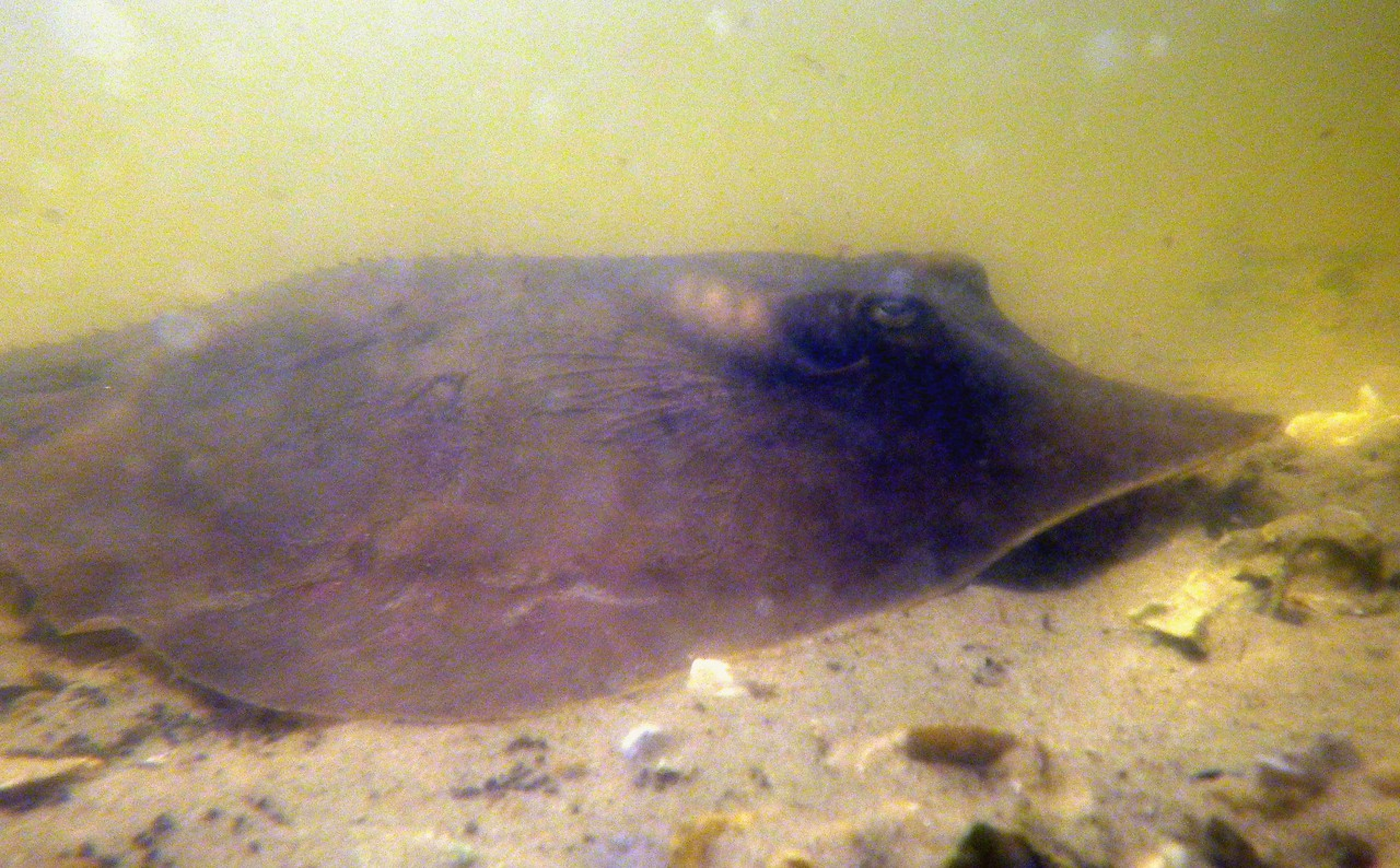although slightly unusual for these waters, i think this is a Roughtail Stingray -- Dasyatis centroura, foraging off Atsena Otie in Cedar Key NWR