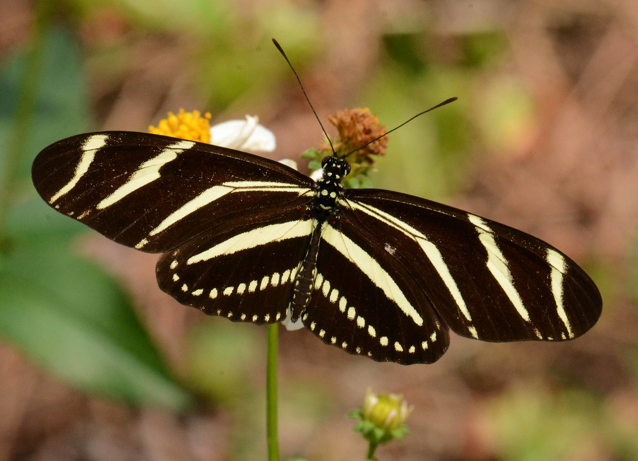 "Zebra Longwing -- Heliconius charitonius.  the FL state butterfly is one no bird will eat.<br /> <br /> 'Gather ye rosebuds while ye may,<br /> Old time is still a-flying;<br /> And this same flower that smiles today<br /> Tomorrow will be dying...' ~ from ""To the Virgins, to Make Much of Time"" by Robert Herrick"