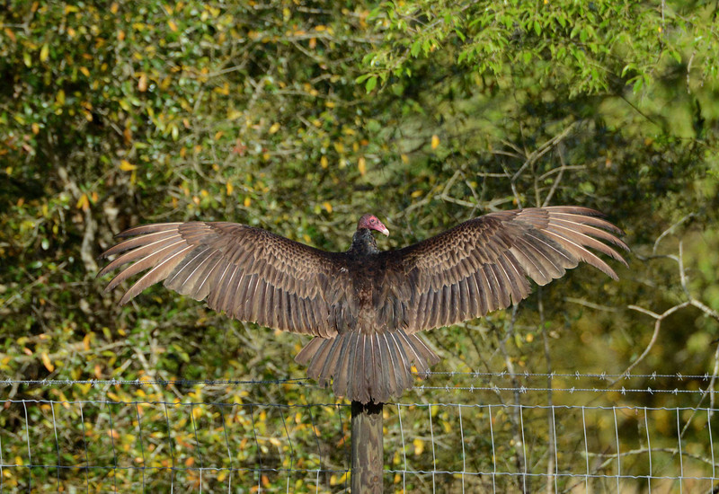 "Turkey Vulture -- Cathartes aura, displays some significant wings as if to ask, ""am i not also beautiful?"""
