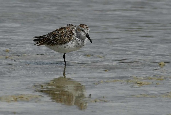 Western Sandpiper -- Calidris mauri, winters on North and South American coasts, breeds in Alaska or eastern Siberia.