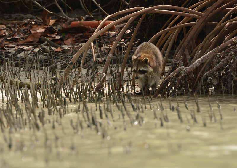 "a Raccoon forages around Black and Red Mangrove roots on a gulf barrier island<br /> <br /> ""The vagabond, when rich, is called a tourist."" ~ Paul Richard"