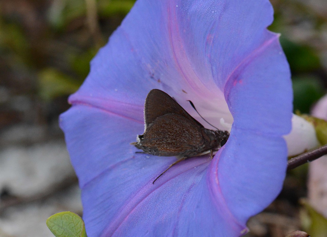 i think this may be a Monk Skipper -- Asbolis capucinus, visiting the Blue Morning Glory -- Ipomoea indica