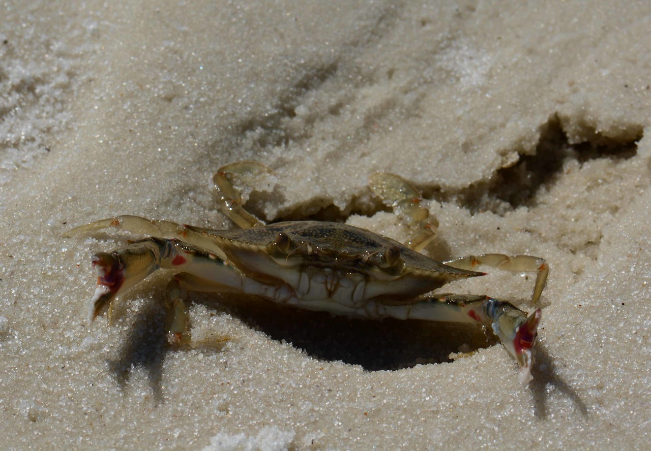 a young Blue Crab showing its business side