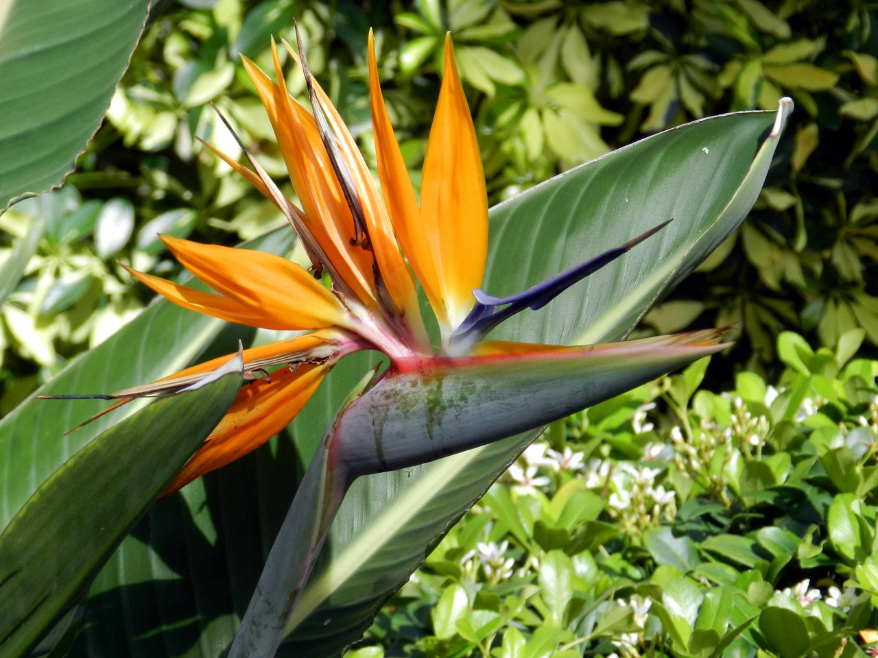 "a Bird of Paradise -- Strelitzia reginae welcomes you to Florida. Named 'La Florida' -- ""land of flowers"" by Juan Ponce de Leon."
