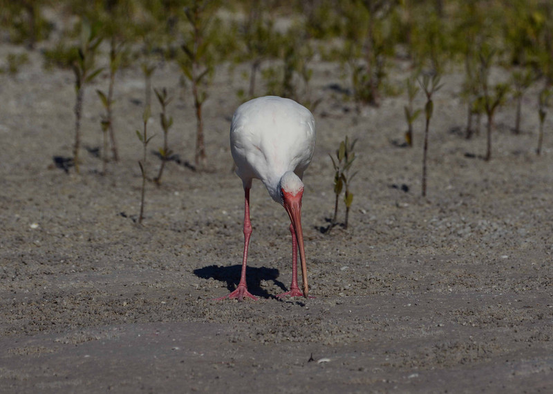 "the White Ibis has the right tools for fiddler crabbing here<br /> <br /> 'You may charge me with murder -- or want of sense --<br /> (We are all of us weak at times):<br /> But the slightest approach to a false pretense<br /> Was never among my crimes!' ~ from ""The Hunting of the Snark"" by Charles Dodgson aka Lewis Carroll, Fit the Fourth -- The Hunting."