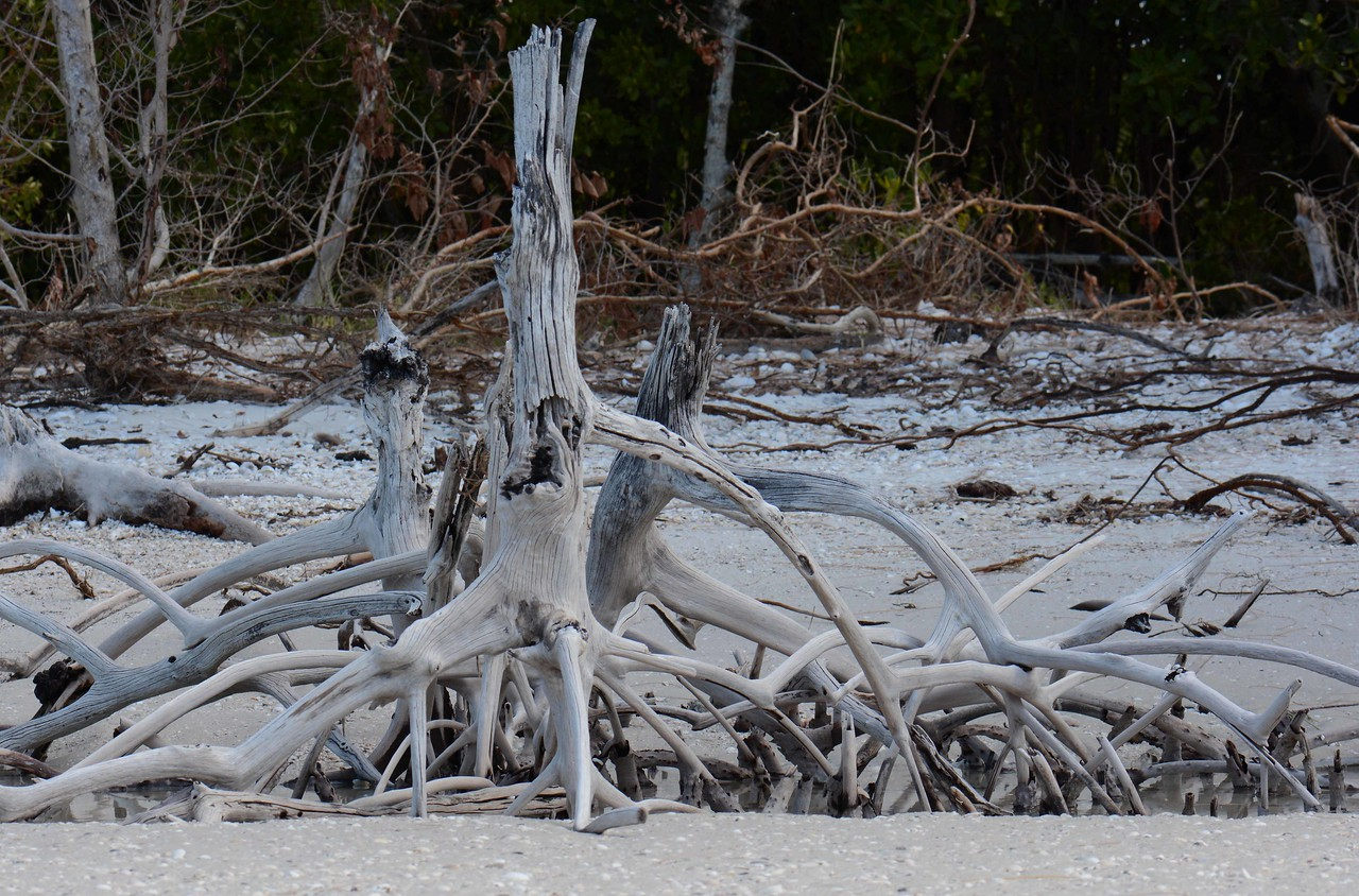 Red Mangrove -- Rhizophora mangle, in death still maintain the beachhead.