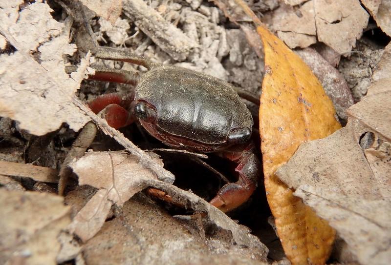 Purple Marsh Crab -- Sesarma reticulatum