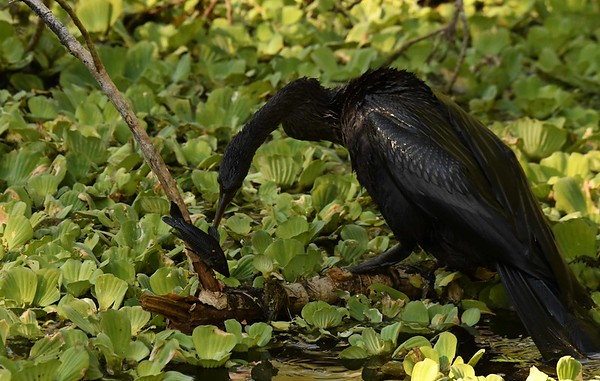 This Anhinga has caught a non-native Sailfin Catfish -- Pterygoplichthys multiradiatus, which is covered with bony plates and perhaps a bit difficult to eat