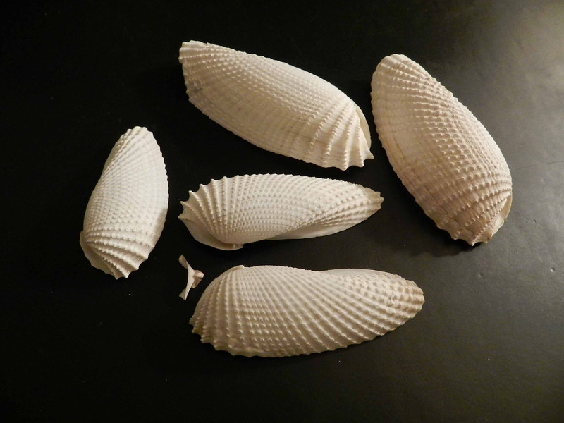 """Angel Wing Clam shells -- Cyrotopleura costata<br /> """"The wings of angels are often found on the backs of the least likely people."""" ~ Eric Honeycutt"""