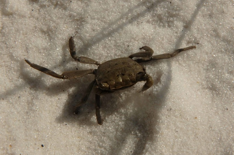Gray Marsh Crab -- Sesarma cinereum