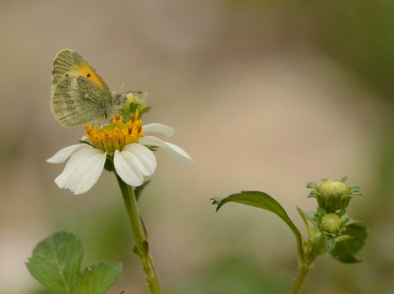 Dainty Sulphur -- Nathalis iole, feeding on Common Beggar-Tick -- Bidens alba, blooms year-round, and draws a lot of nectar fan-followers.<br /> <br /> 'The flower of sweetest smell is shy and lowly.' ~ William Wordsworth