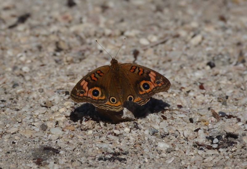 "Mangrove Buckeye -- Junonia genoveva<br /> <br /> ""The most important environmental issue is one that is rarely mentioned, and that is the lack of a conservation ethic in our culture."" ~ Gaylord Nelson"