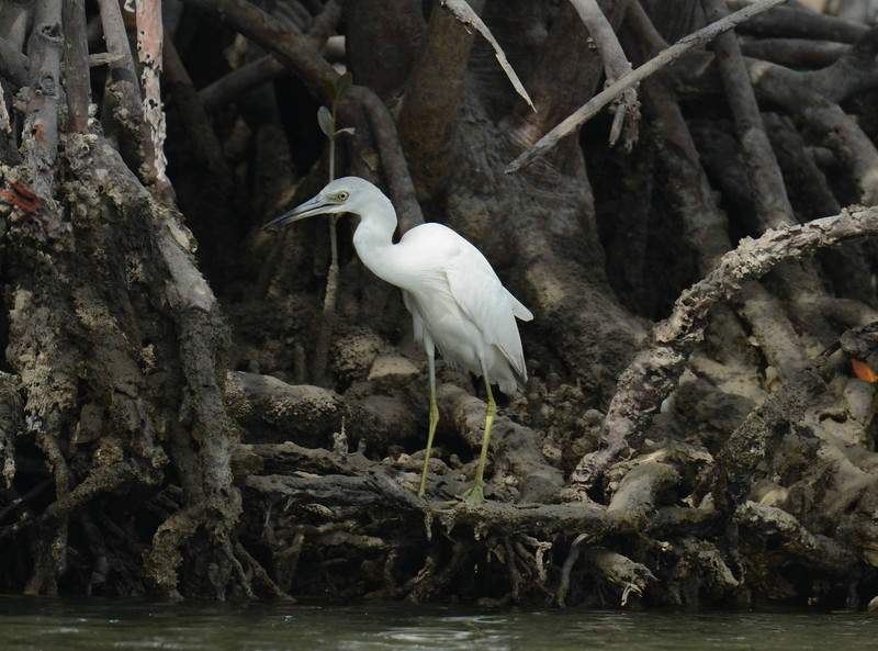 immature Little Blue Heron pulls a crab off the mangrove roots