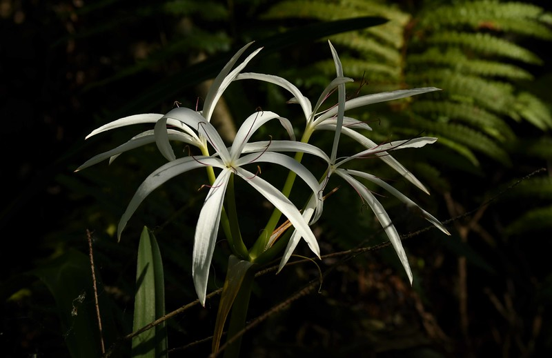"Swamp Lily aka ""String Lily"" -- Crinum americanum (alien)"