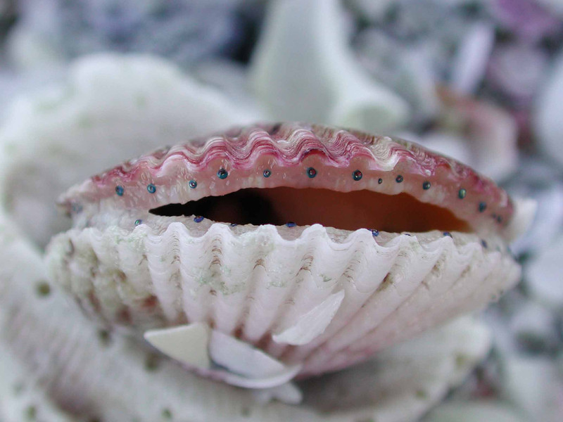 Calico Scallop -- Aequipecten gibbus <br /> Aphrodite was born from the foam of Uranus' genitals and and floated to shore on the shell of a scallop.