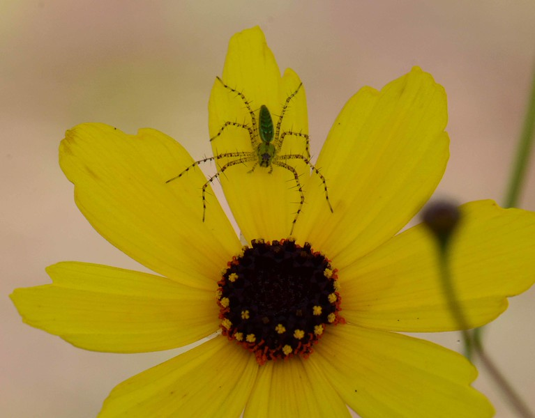 a Common Tickseed -- Coreopsis leavenworthii, provides stalking ground for a Lynx Spider, family Oxyopidae -- possibly a Green Lynx Spider -- Peucetia viridans.