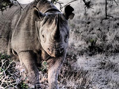 Black Rhino Under the Thorns, Kwandwe