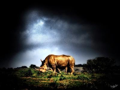 White Rhino and Calf, Amakhala