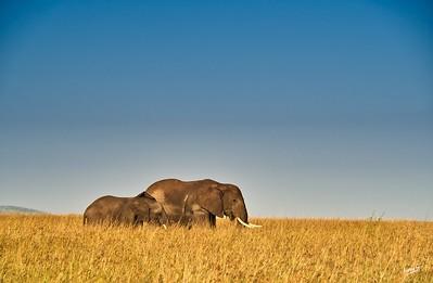 Elephants in a Sea of Grass, Maasai Mara