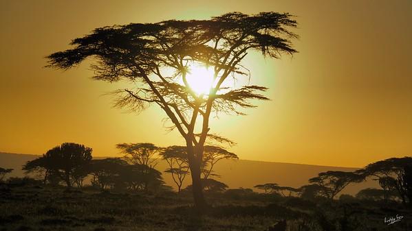 Fever Tree, Maasai Mara
