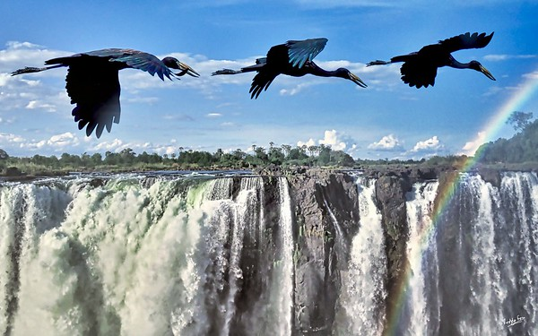 African Openbill Stork over Victoria Falls