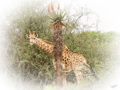 Giraffe, Welcome to Amakhala Woodbury