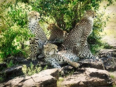 In the Shade, Cheetah Family, Maasai Mara