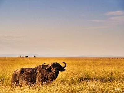 Buffalo, Maasai Mara Plains