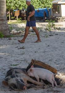 Semi-wild pigs