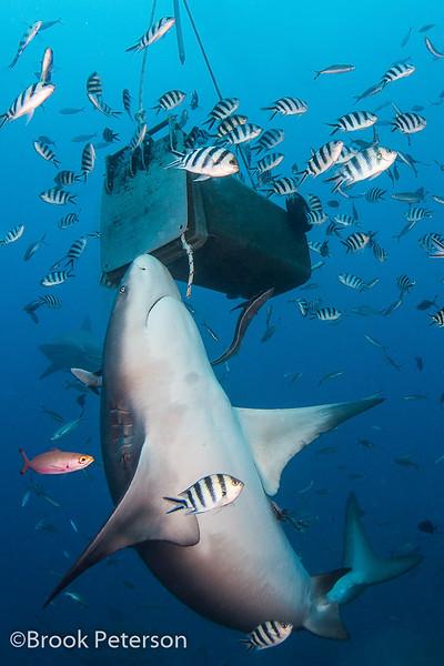 Bull Shark Feeding