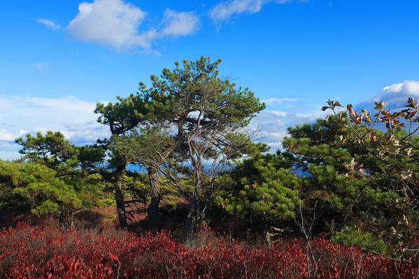 The Dwarf Pines of Sam's Point