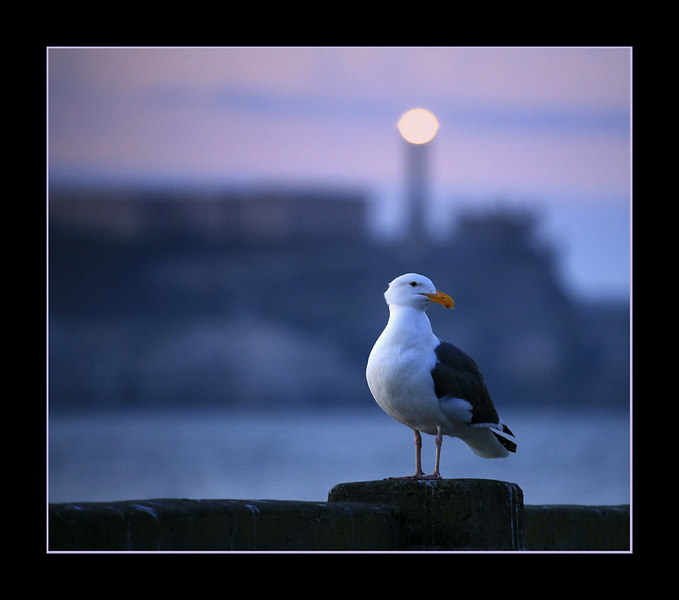 Seagull, with Alcatraz in the background, San Francisco, CA