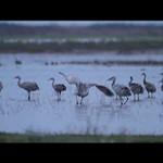 sand hill cranes QT 10-23-10