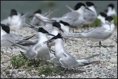 Sandwich Tern ( Sterna sandvicensis )