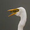 Great White Egret;s Dinner