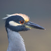 Yellow Crowned Night Heron Portrait